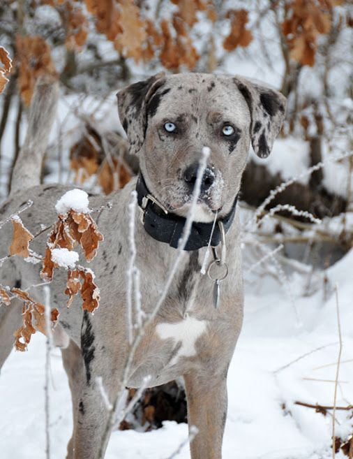 """CATAHOULA LEOPARD DOG, state dog of Louisiana. Used primarily for herding cattle and pigs, the Catahoula is also an outstanding bay dog. Its' origin is uncertain. According to one theory, indigenous """"War Dogs"""" or """"Red Wolf"""" kept by North American natives interbred with the Beauceron that 19th century French settlers brought to the New World. The French told of strange-looking dogs with haunting glass eyes that were used by the native peoples to hunt game in the swamp. (wikipedia)"""