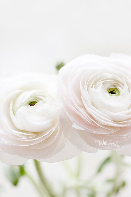 Almost white ranunculus