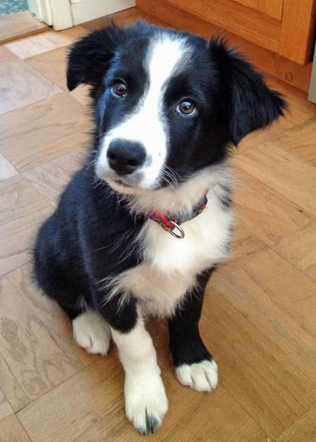 Robin Hood the Border Collie.   I am super cute and way too smart for my own good. I love to do tricks and play 19 hours a day. Now that spring has arrived I can't get enough of the back yard. Birds, squirrels, and bugs--there is something new every day.