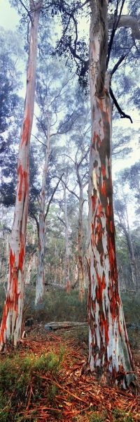 Australian trees: 1. Eucalyptus (Au1). Alpine National Park, Victoria, Australia. Saw that first in Benicassim, where those trees are brought. Beautiful.