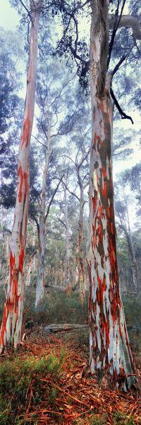 A dreamy snow gum forest in Alpine National Park, Victoria, Australia