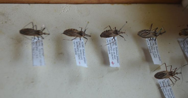 Exames acham transmissor da doença de Chagas em amostras de açaí