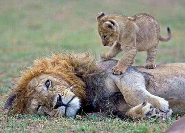 Wake up dad! Lions