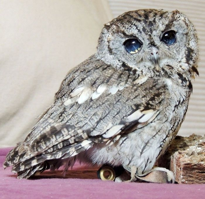 Rescued Blind Owl 'Zeus' Has Stars in His Eyes (8 pictures)