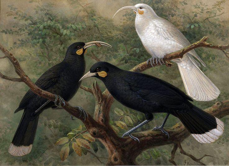 Йоханнес Герардус Кейлеманс, Johannes Gerardus Keulemans, John Gerrard Keulemans, J.G. Keulemans, художник птиц, Walter Lawry Buller, A History of the Birds of New Zealand