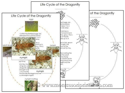 Dragonfly Life Cycle Cards are formatted in a 3-part card series with blackline master included. Includes photographic pictures: egg to dragonfly, eggs, nymph,