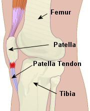 The patella - a sesamoid bone