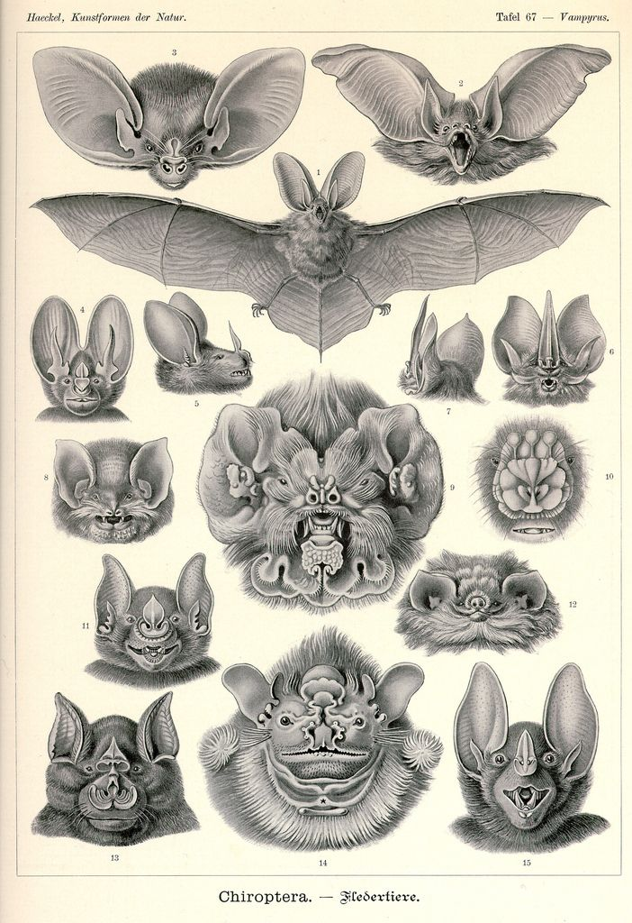 Study of bats by Ernst Haeckel