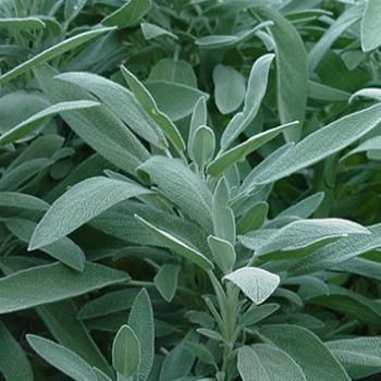 Sage planting growing and harvesting