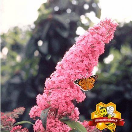 "Sommerflieder ""Pink Delight"",1 Pflanze"