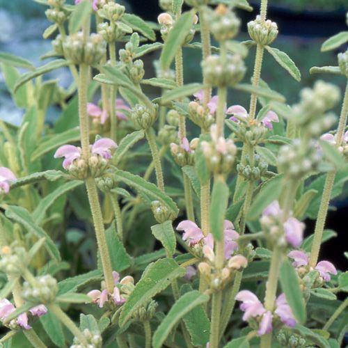 PHLOMIS purpurea ssp. caballeroi (Sauge de Jérusalem rose) : Fortes touffes à feuillage velu. Les fleurs tubulées, arquées, sont groupées en couronnes, étagées sur les hampes dressées. Culture facile en sol ordinaire, profond, même sec. Petit arbuste d'origine algérienne et marocaine trapu, à port dressé. Ravissant feuillage persistant lancéolé, et velu, d'un joli gris doré. Fleurs roses et blanches en verticilles espacés sur des tiges dressées. Un des rares Phlomis arbustifs à fleurs roses.