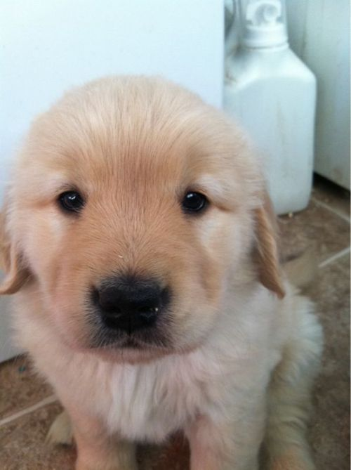 a widdle baby golden retriever