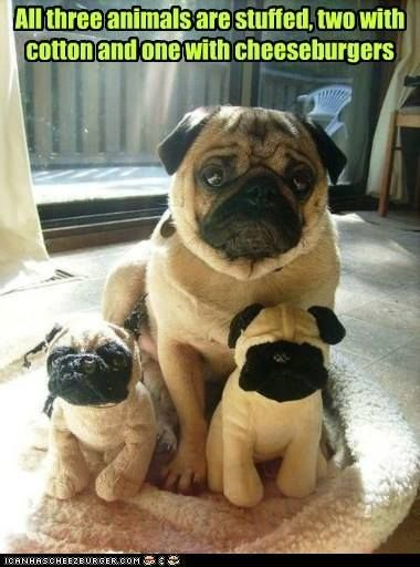 25 Best Pug Quotes On Pinterest