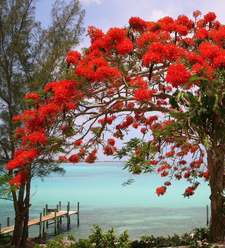 Royal Poinciana by the Sea -   Nassau, Bahamas