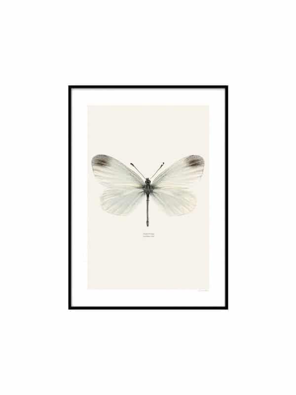 Poster – Angsvitvinge - Storlek 30x40