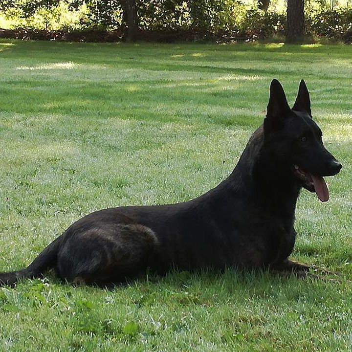 Buck Malinois Protection Dog For Sale Malinois Dogs Dogs For Sale