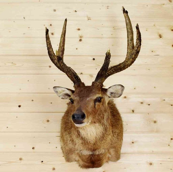 Moluccan - Rusa Deer Taxidermy Mount - SW8900