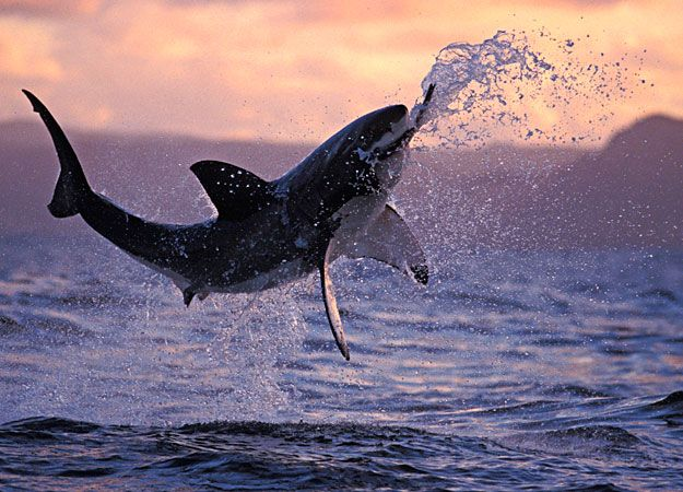 Best Sea Creatures Which Dont Play To Nice Images On - Man fights great white shark sydney harbour jumping cliff