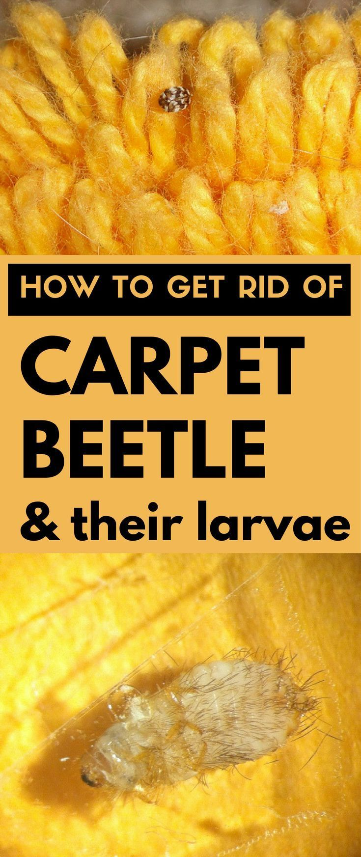 Learn how to get rid of carpet beetle and their larvae