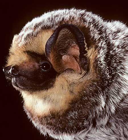 Hoary Bat. Looks like a small dog.