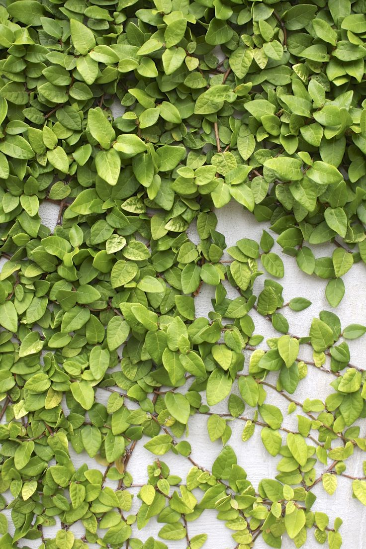 Creeping Fig Vine can turn a cement wall into a piece of beauty. It grows happily year round in warm states and loves the sun.