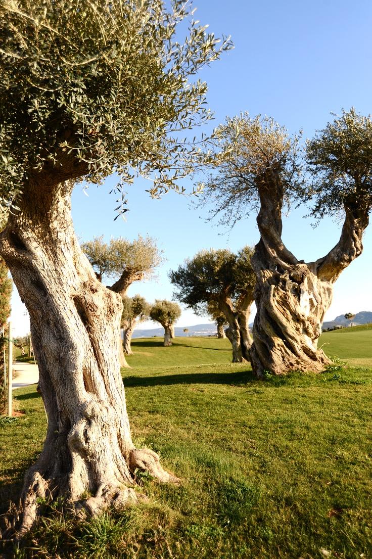 TRAVEL'IN GREECE I #Messinia - olivetrees. Photo: Olympia Krasagaki