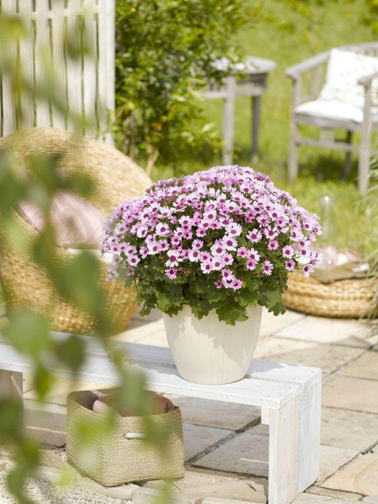 """Den Teneriffa-Stern """"ToDaisy"""" gibt es bei OBI in vielen kräftigen Farben: pink, lila, rosa und in dunklem Kornblumenblau."""