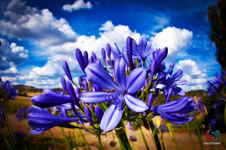 A brand new Agapanthus on an old dirt road outside of Cootamundra NSW Australia.