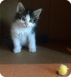 Pictures of DAYTON a Domestic Mediumhair for adoption in Dallas, TX who needs a…