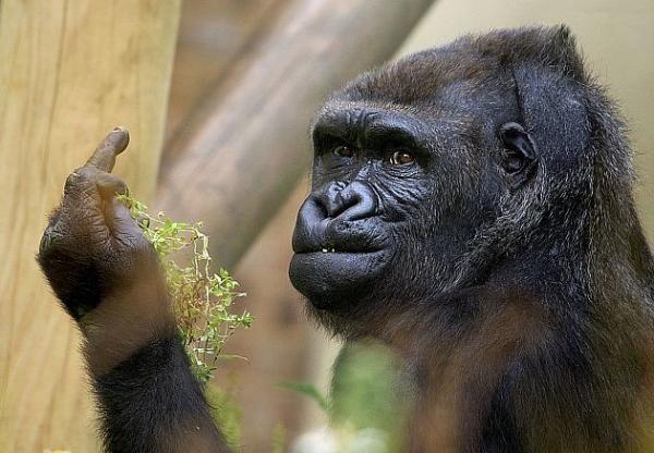 Keine Lust auf Paparazzo: Gorilla zeigt Fotografen rotzfrech den Mittelfinger - Yahoo Nachrichten Deutschland