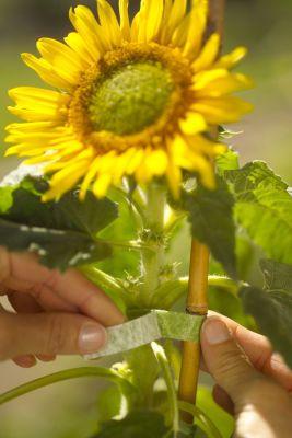 Rzep mocujący do roślin