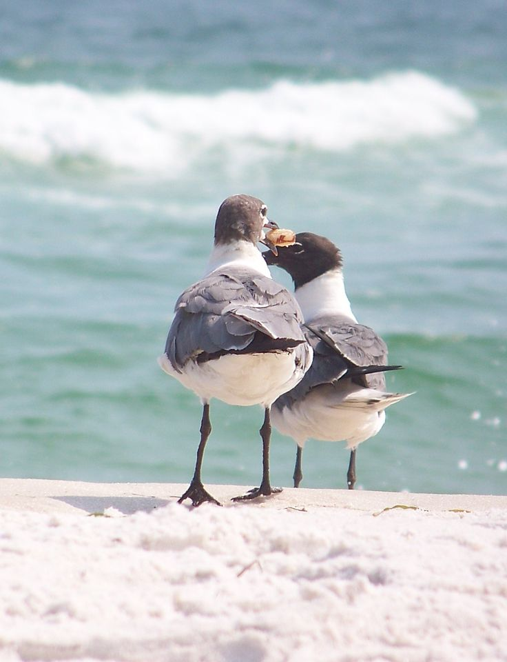 Seagulls, Pensacola Beach Florida