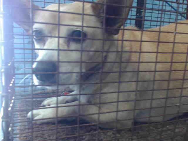 Urgent San Bernardino Ca Id A515892 I Am An Unaltered Male Tan Chihuahua And Welsh Corgi Cardigan Mix I Have Been Small Dog Breeds Dogs Welsh Corgi