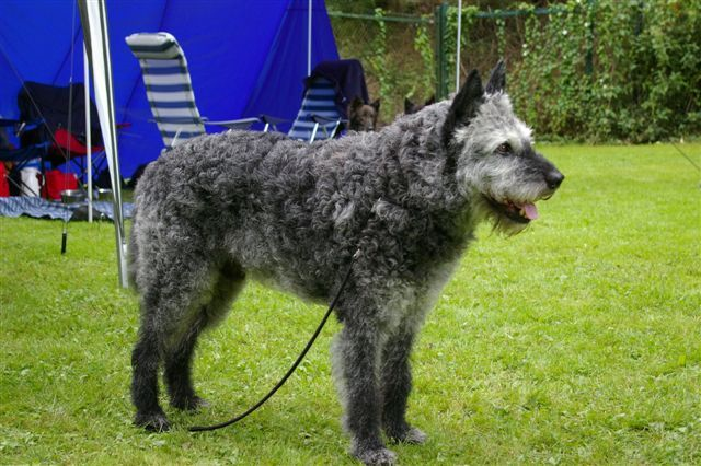 Rough Haired Dutch Shepherd    Google Image Result for http://www.vandaliakennel.com