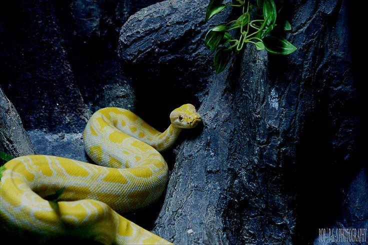 Albino Burmese Python (Python molurus bivittatus)   Flickr - Photo Sharing!