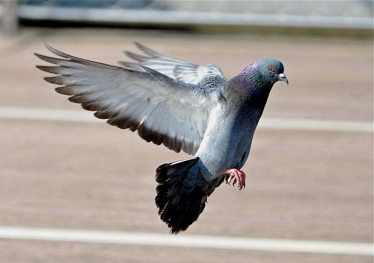 A photo of a pigeon taking off.