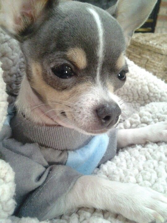 Beautiful blue chihuahua #adorable