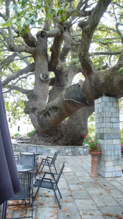Pilion, Greece , a 1000 year old Plataan tree (as they say)