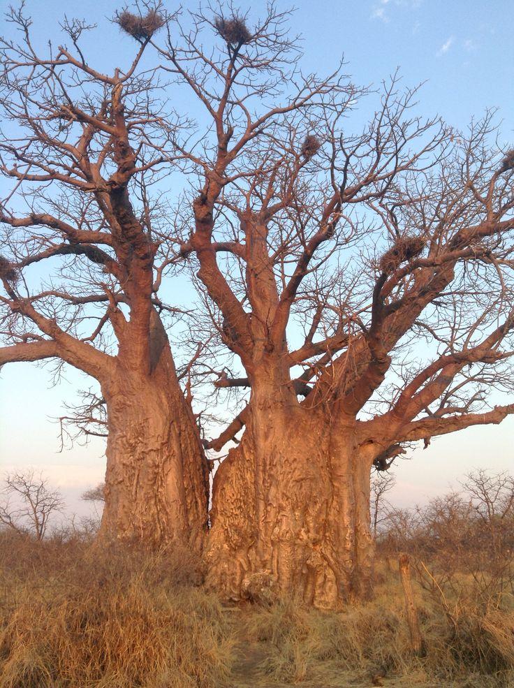 Boabab, Limpopo