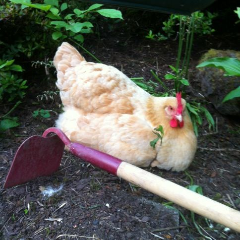 Twitter / EugeneUrbanFarm: A chick and a hoe.: Chicki Poo, Chicken Ladies, Crazy Chicken