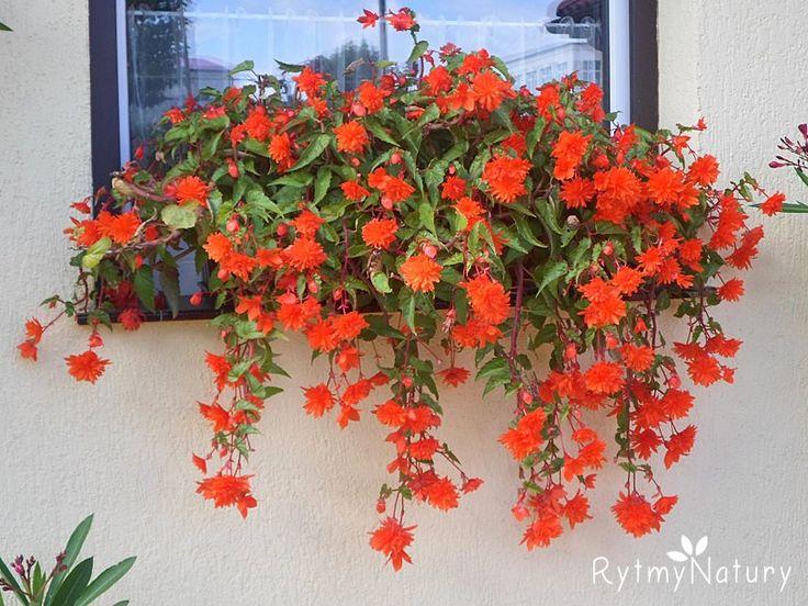 Zwisająca begonia bulwiasta to oszczędny sposób na piękny taras i balkon!  #rytmynatury #ogród #taras #balkon #flowers #begonie #garden