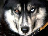 Interesting Facts About wolves.    Wolves do not make good guard dogs because they are naturally afraid of the unfamiliar and will hide from visitors rather than bark at them.g
