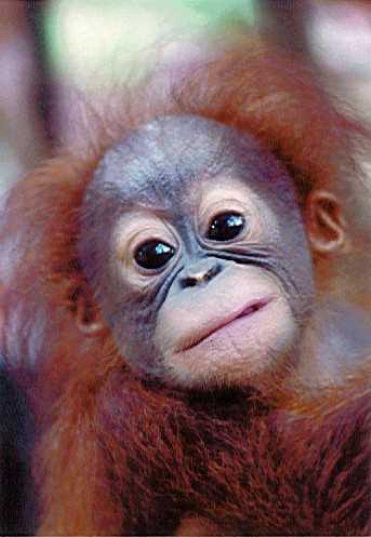 Baby Orangutan, wild hair day! Lol