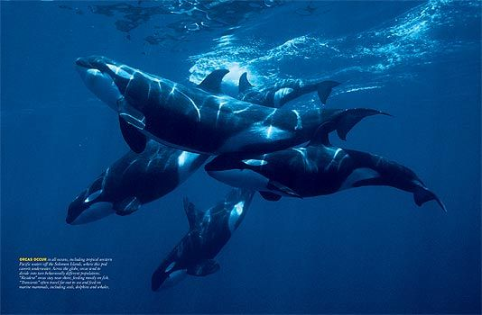 orca pod - Most of the young orca will spend their entire lives with their moms as they live in matriarchal societies.