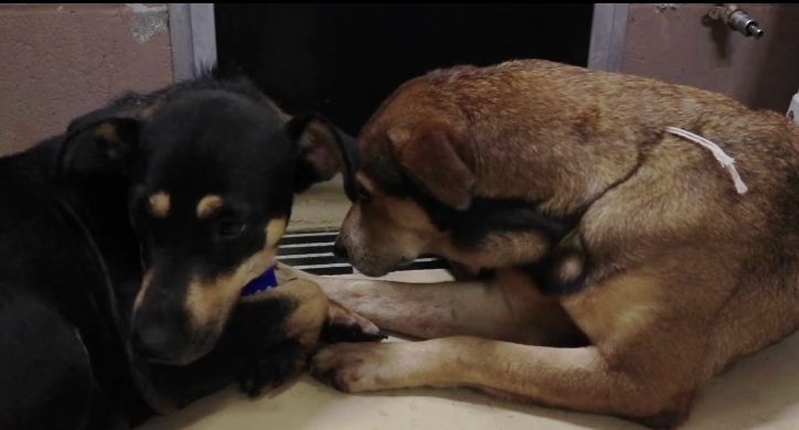 3/31/17 Two dogs have only one another at an animal shelter in Harris County, Texas. The dogs, Negra and Moneca, were turned over to the Harris County Public Health facility when their owners – the people who were supposed to love and protect them, moved and made the decision to not take the dogs with them. …