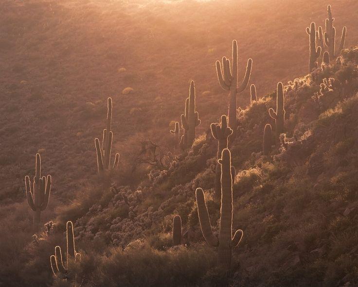 Saguaros at Sunset by Michael Wilson            Michael Wilson: Photos                                 #nature #photography