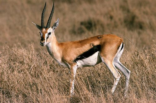 41 best Gazelles images on Pinterest   Thomson gazelle ...