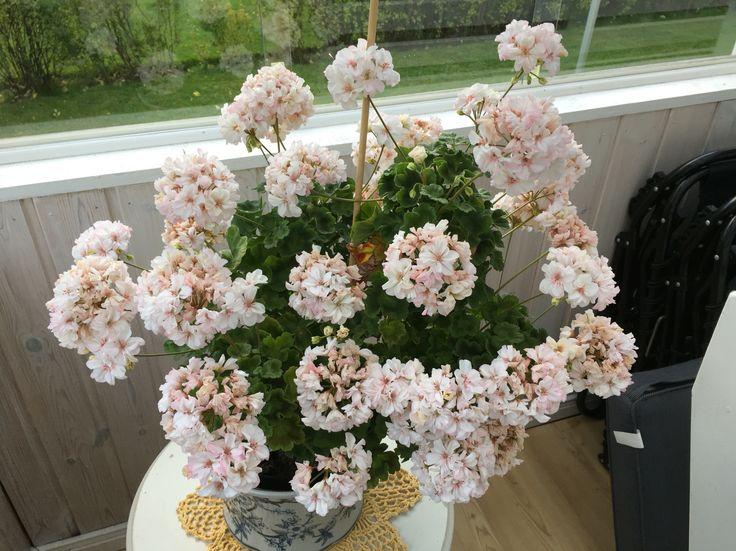 Elnaryds Alexis💞 Så pampigt hon har blommat! Nu börjar hon ge upp, men tack för din fantastiska blomprakt!