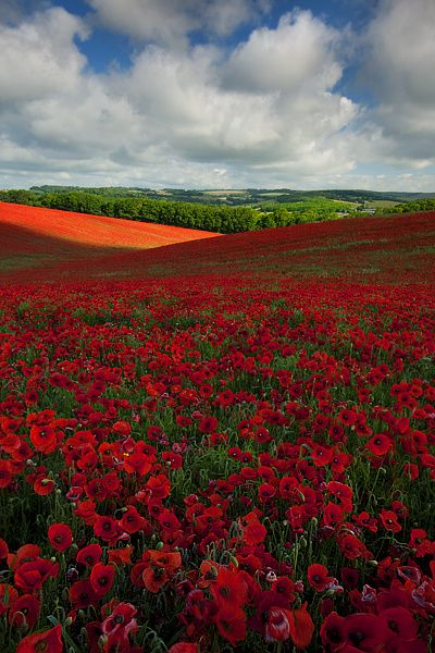 A Poppy Field in the South Coast of England - Gorgeous!
