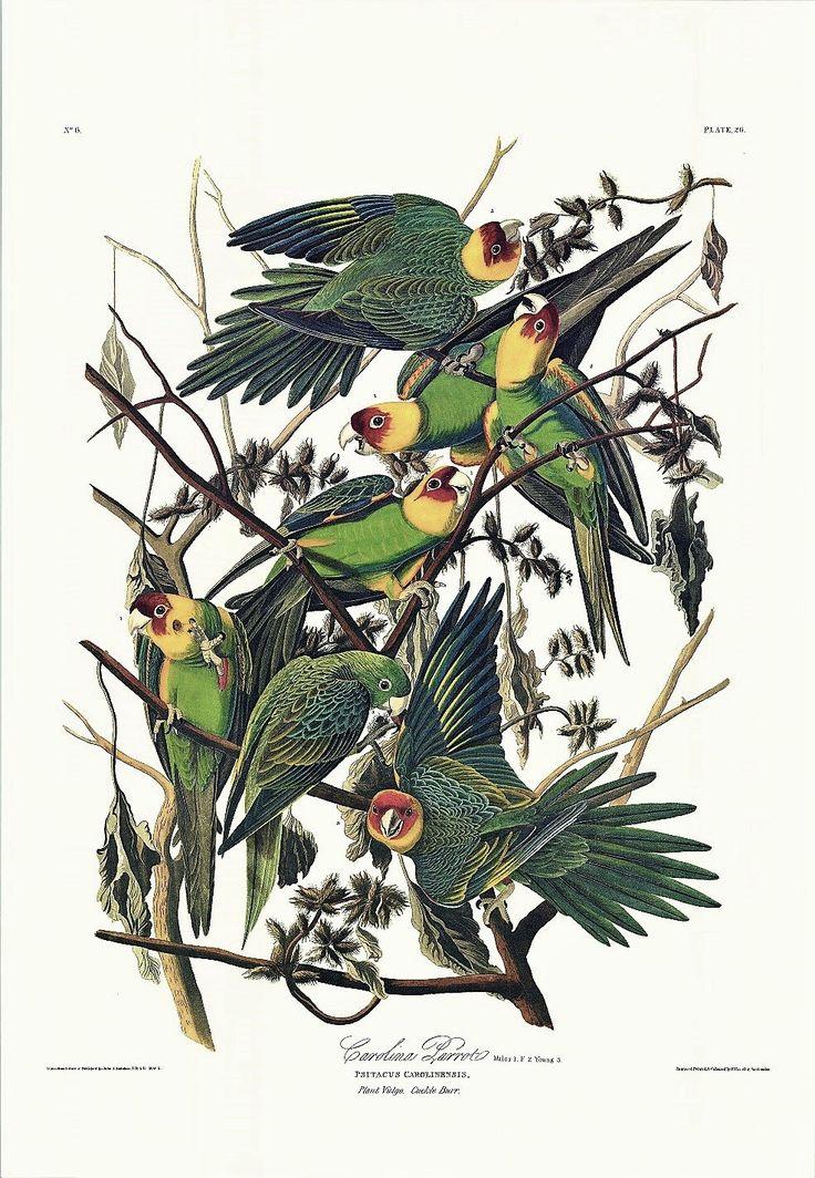 Princeton Audubon Carolina Parrot
